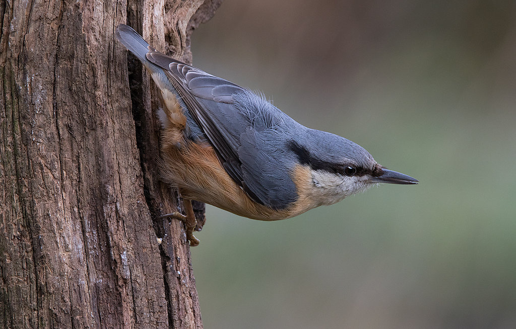 Projection Nuthatch on dead branch
