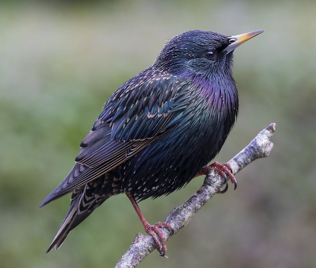 Starling iridescence