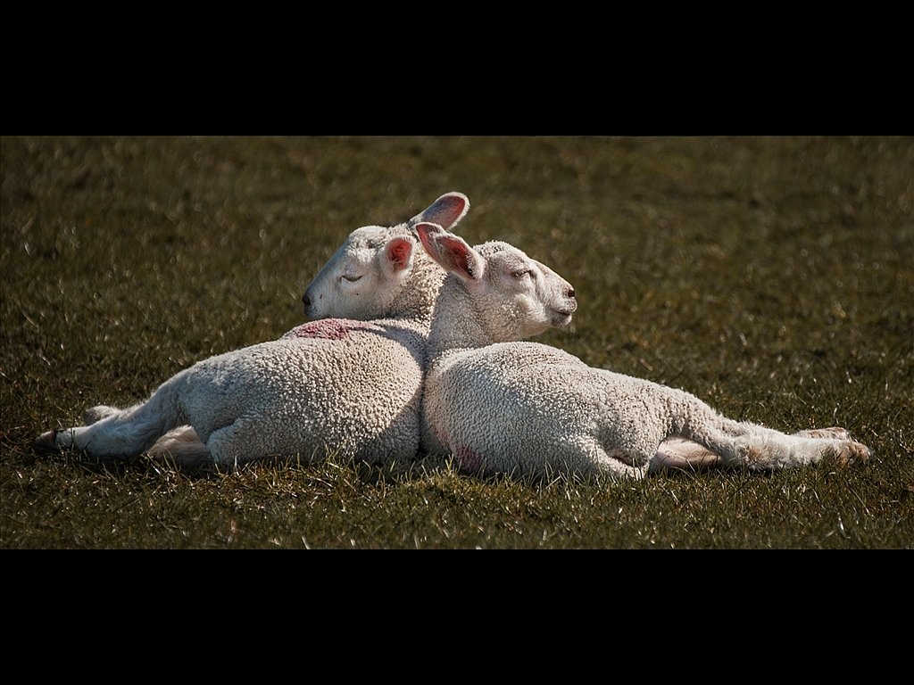 Spring lambs (c) Kirsty Railton [Commended]