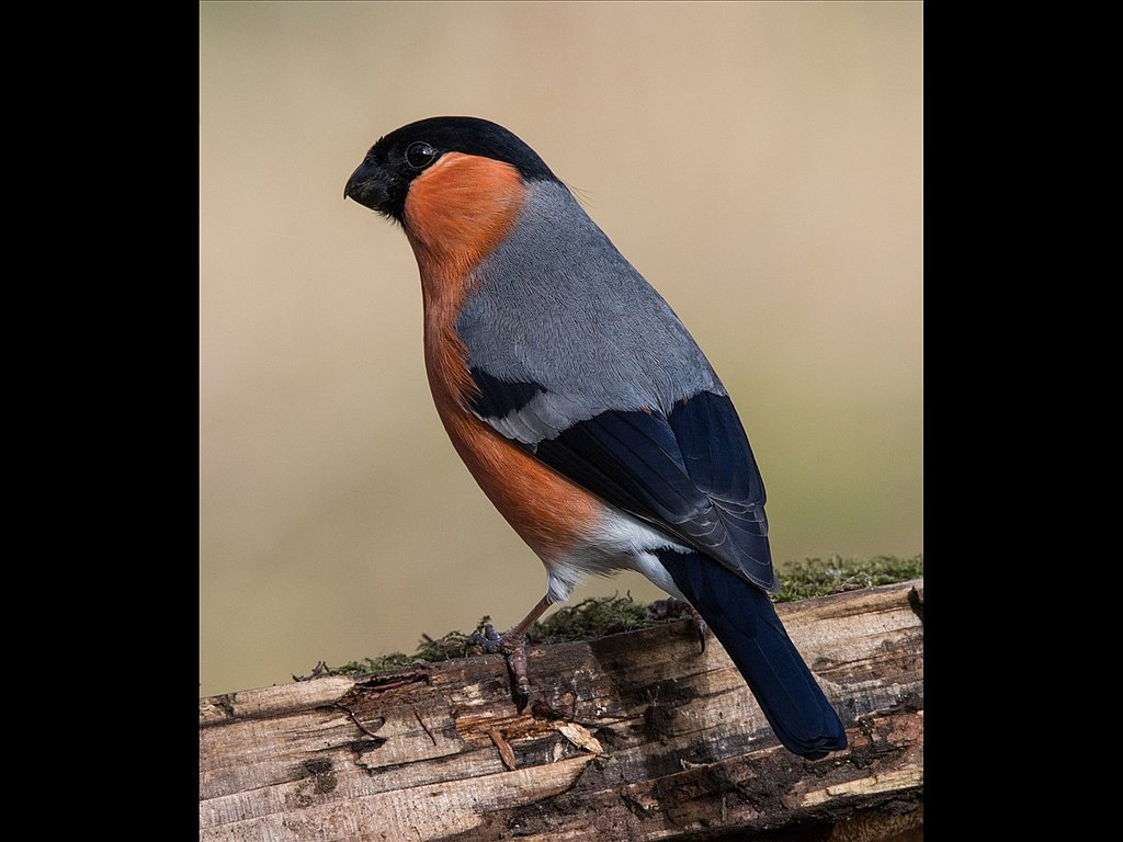 Male Bullfinch (c) Mike Atkinson [Commended]