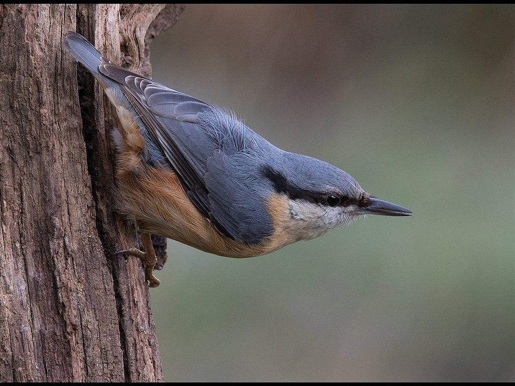 Nuthatch (c) Mike Atkinson [Commended]