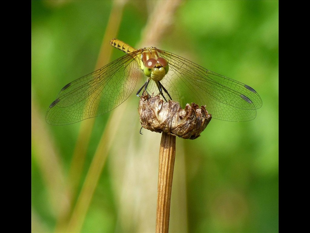 Common Darter Dargonfly (c) Vince Spratling [Commended]