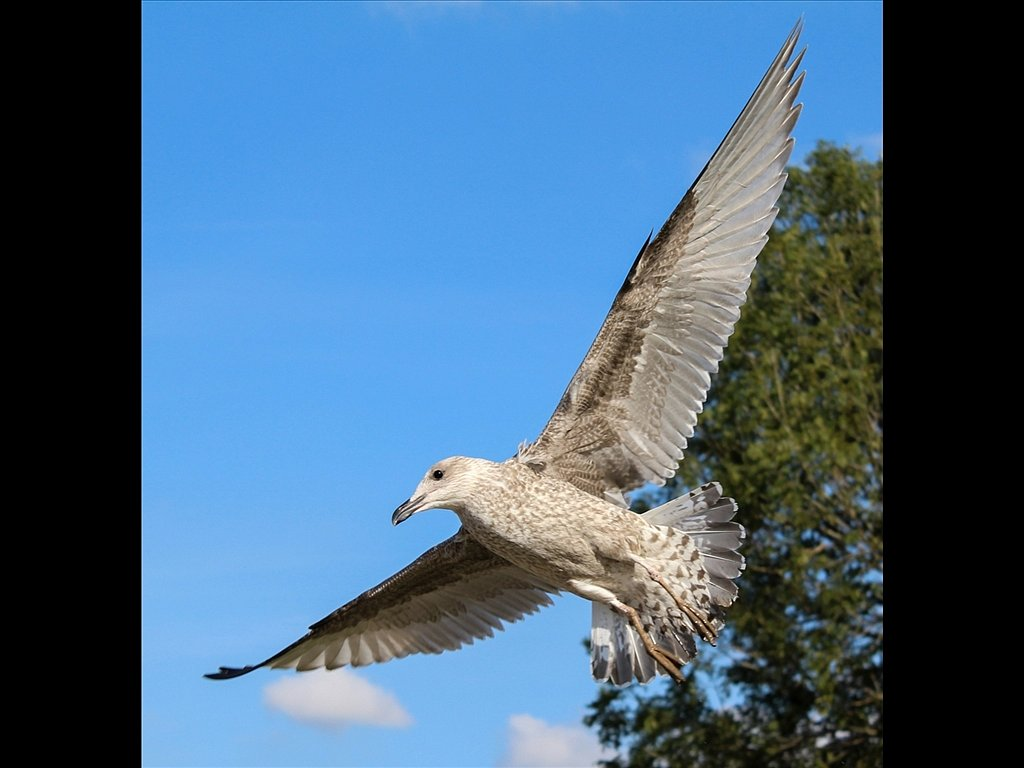 Juvenile Herring Gull (c) Vince Spratling [Commended]