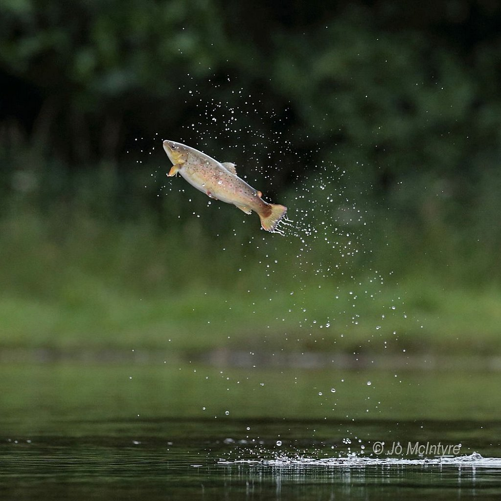 Leaping brown troutL