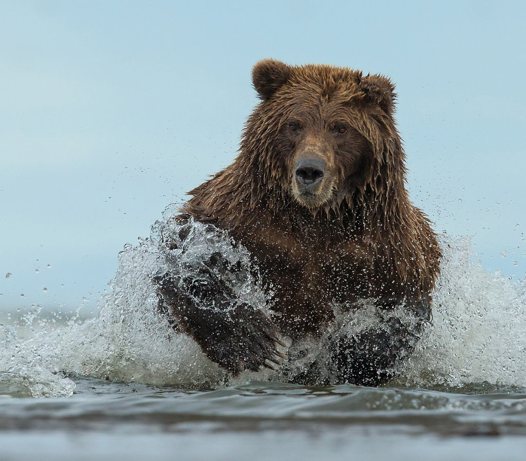 Wild female grizzly fishing