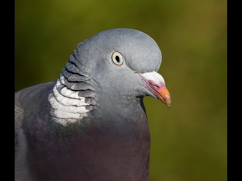 Wood Pigeon Portrait (c) Mike Atkinson [Highly Commended]