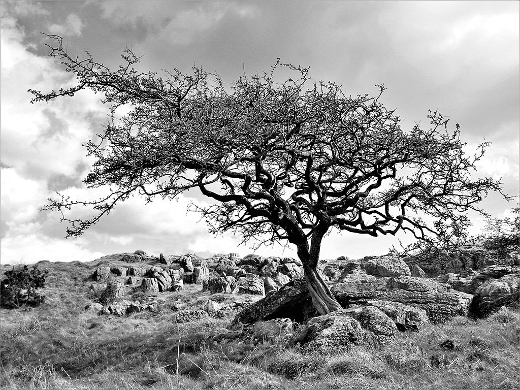 Hawthorn on Holme Park Fell (c) Brian Forde [Highly Commended]