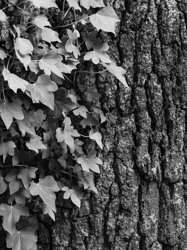 'Tree Trunk with Ivy' Copyright (C) Michael Yates 2018