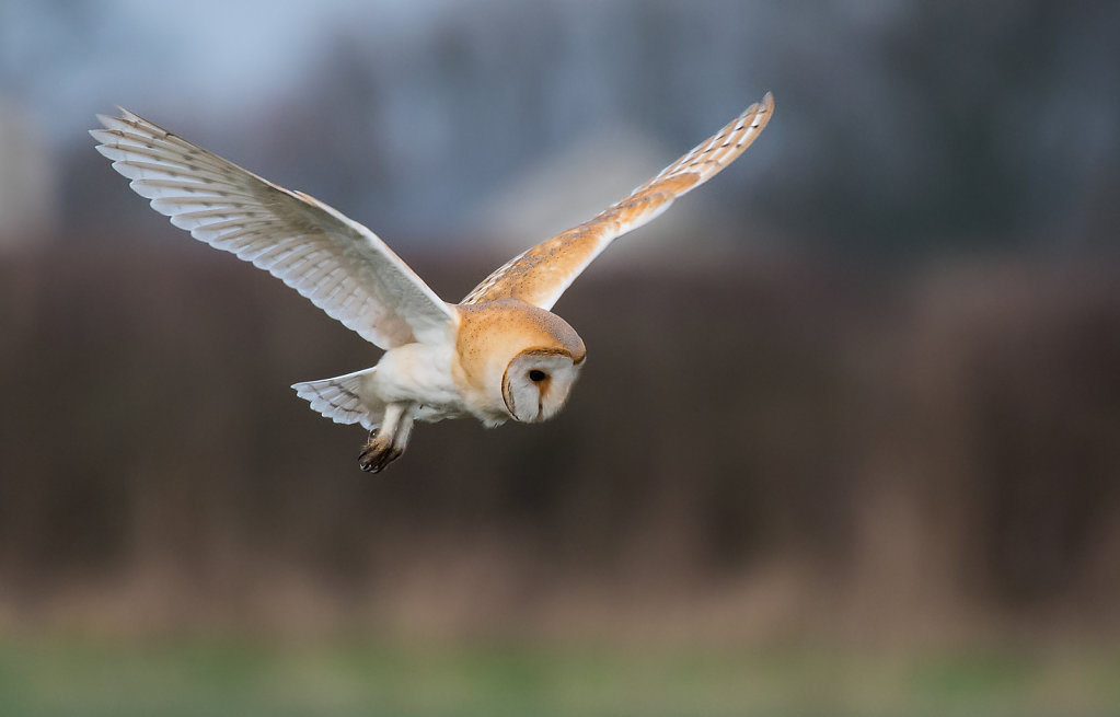 'Barn Owl On The Hunt' Copyright (C) Gary Barton 2019